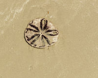Zanddollar (overzees koekje of snapper koekje) op het strand royalty-vrije stock foto's