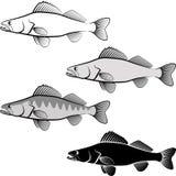 Zander. Clip art illustration of zander fish and line art Stock Photo