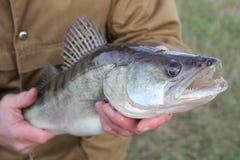 Zander de а na mão de а de um pescador Imagem de Stock