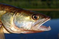 Zander fish head Royalty Free Stock Photo