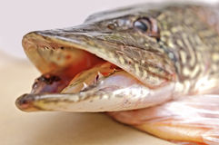 Zander fish head Stock Photography