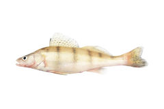 Zander fish isolated Stock Photos