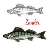 Zander fish vector fishing icon. Zander fish sketch icon. Vector isolated symbol of zander fish freshwater species of perch for seafood restaurant or fish food Royalty Free Stock Image