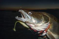 Zander fisk arkivfoto
