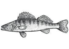 Zander illustration för pikpearchfisk, teckning, gravyr, linje konst som är realistisk Stock Illustrationer