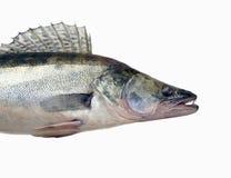 Zander lub szczupak żerdzi Sander lucioperca, drapieżczy rybi clos zdjęcie royalty free
