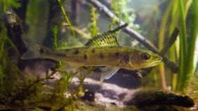 Zander or pike-perch Sander lucioperca, closeup photo of a  juvenile freshwater fish  in aquarium. Zander or pike-perch Sander lucioperca, close up macro photo Stock Photography