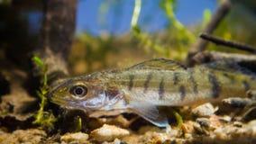 Zander or pike-perch Sander lucioperca juvenile freshwater fis. H  in biotope aquarium representing river Southern Bug in Ukraine Stock Image