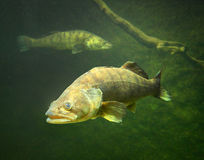 The Zander. The Zander or Pike-perch Sander lucioperca. Underwater photography from fresh water lake royalty free stock photography