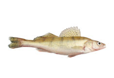 Zander or pikeperch isolated Stock Images