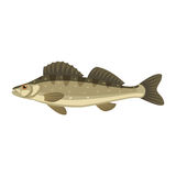 Zander sander lucioperca fish Royalty Free Stock Images