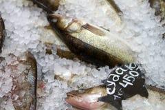 zander Verse vissen op ijs Stock Afbeeldingen