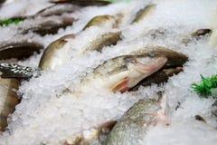zander Verse vissen op ijs Stock Foto