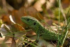 Zandhagedis; Sand lizard; Lacerta agilis stock image