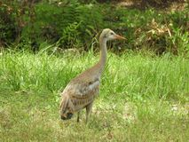 Zandheuvel Crane Baby Bird in het bos royalty-vrije stock afbeelding