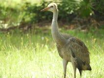 Zandheuvel Crane Baby Bird in het bos royalty-vrije stock foto's
