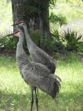 Zandheuvel Crane Bird in het bos van Centraal Florida stock foto's
