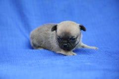 Zandig chihuahuapuppy die op een blauwe doek liggen royalty-vrije stock afbeelding