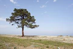 Zandig strand met pijnboomboom in Corsica Royalty-vrije Stock Afbeeldingen