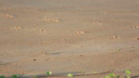 Zandkrab op het strand stock footage