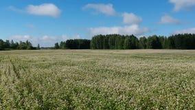 Zangão acima do campo de florescência do trigo mourisco no verão, aéreo filme