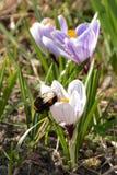 Zangão bonito que senta-se na flor branca do açafrão Imagens de Stock