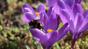Zangão bonito que senta-se na flor violeta do açafrão Foto de Stock Royalty Free