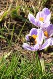 Zangão bonito que senta-se na flor violeta do açafrão Fotografia de Stock Royalty Free
