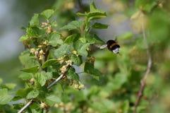 Zangão em flores do corinto preto imagens de stock royalty free