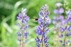 Zangão em um lupine da flor em um campo no verão imagem de stock royalty free