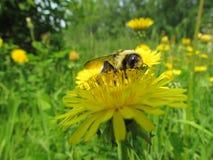 Zangão em uma flor Fotos de Stock Royalty Free