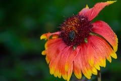 Zangão em uma flor Foto de Stock Royalty Free