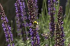 Zangão em uma flor Imagens de Stock Royalty Free