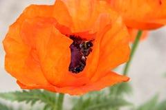 Zangão em uma flor alaranjada foto de stock royalty free