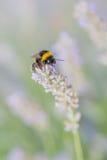 Zangão na alfazema da flor Fotos de Stock