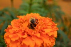 Zangão na flor alaranjada Foto de Stock Royalty Free