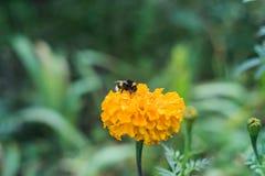 Zangão na flor amarela Imagens de Stock