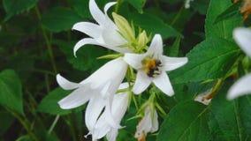 Zangão na flor da campânula video estoque