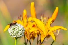 Zangão na flor da cebola do jardim fotografia de stock royalty free