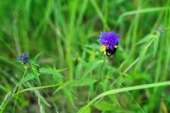 Zangão na flor Nemorosum de Melampyrum da flor de Melampyrum, planta, decorativo bonito, delicado e terapêutico foto de stock royalty free