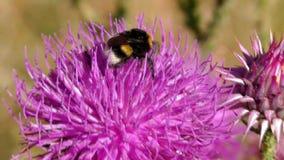 Zangão na flor que recolhe o pólen video estoque