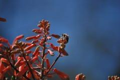 Zangão na flor vermelha Foto de Stock Royalty Free