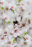 Zangão nas flores de sakura Fotos de Stock
