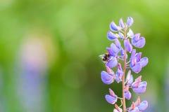 Zangão nas flores do Muscari Muscari Armeniacum Jacintos de uva Apenas chovido sobre Planta do armeniacum do Muscari com azul imagem de stock royalty free