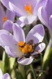 Zangão no açafrão de florescência Imagem de Stock