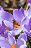 Zangão no açafrão de florescência Imagens de Stock Royalty Free