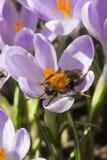 Zangão no açafrão de florescência Foto de Stock Royalty Free