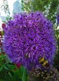Zangão no Allium Foto de Stock Royalty Free