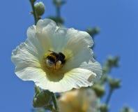 Zangão no meio da flor Foto de Stock