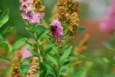 Zangão que escala a flor cor-de-rosa Fotografia de Stock
